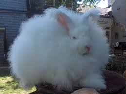 Angora rabbit ( Turkey)
