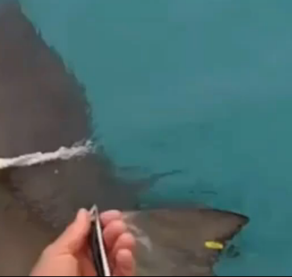 Yellow colored transmitter on the shark