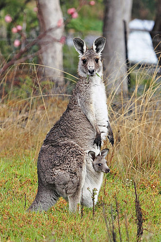 330px-Kangaroo_and_joey03