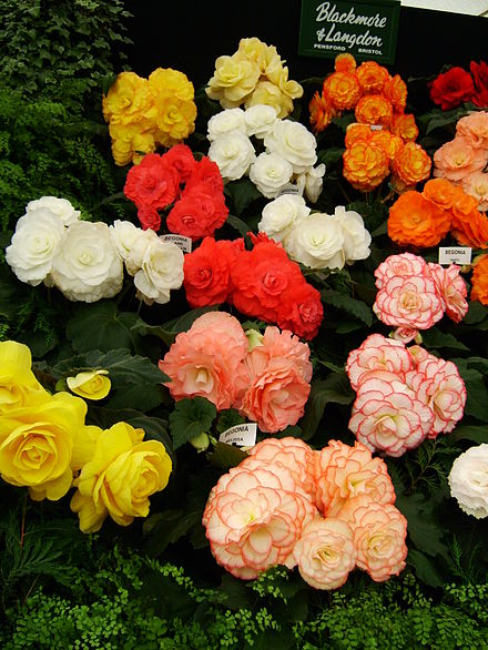 440px-Begonia_display